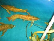 QUALITY AROWANAS FISHES FOR SALE!!!