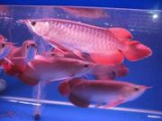 QUALITY GOLD FISH, AROWANAS AND MANY OTHER FISH FOR SALE.......PIRCES A