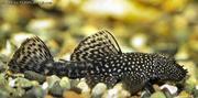 Bristle nosed cat fish