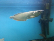 blue and gold arowana fish for sale