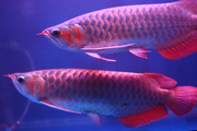 2 SUPER RED AROWANAS FOR SALE