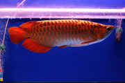 Quality Super Red Arwoana for sale