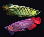 AROWANA FISHES AVAILABLE FOR SALE TO ANY INTERESTED PERSON'S.