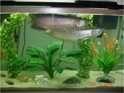 We supply live Red Asian Arowana, jardini Arowana, Chili Red, Golden Arow