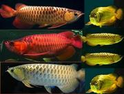 Arowana fishes of different kinds and sizes for sale (very moderate).